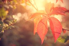 Closeup photo of red autumn leaf Stock Photography