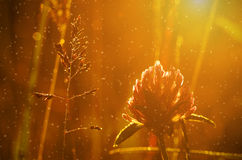 Closeup photo of a red clover on the field Stock Photo