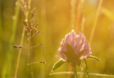 Closeup photo of a red clover on the field Stock Image