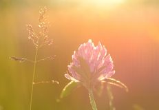 Closeup photo of a red clover on the field Stock Images
