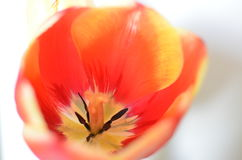 Closeup photo of red tulip core, abstract floral background. Spring time nature detail Royalty Free Stock Photos