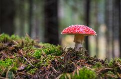 Closeup Photo of Red and White Mushroom Royalty Free Stock Images