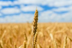 Closeup photo of the ripe yellow wheat ear. Closeup photo of ripe yellow wheat ear royalty free stock photography