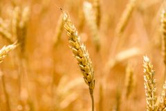 Closeup photo of the ripe yellow wheat ear. Closeup photo of ripe yellow wheat ear stock photo