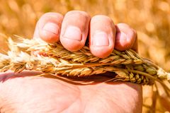 Closeup photo of the ripe yellow wheat ear in farmer hand. Closeup photo of ripe yellow wheat ear in farmer hand stock photo