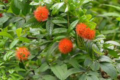 Closeup photo of River bushwillow red flower in the garden in Si. Closeup photo of River bushwillow red flower Combretum erythrophyllum in the garden in Stock Images