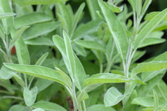 Closeup photo of Sage Plant in the garden Royalty Free Stock Photography
