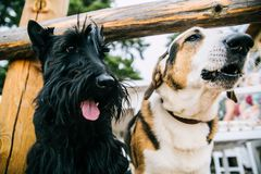 Closeup Photo of Scottish Terrier and Adult Short-coated White and Tan Dog Royalty Free Stock Photo