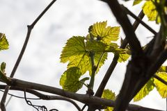 Leaves of grapes, spring Royalty Free Stock Images