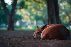 Closeup Photo of Short-coated Brown Dog Royalty Free Stock Photo