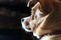 Closeup Photo of Short-coated Tan Dog Royalty Free Stock Images