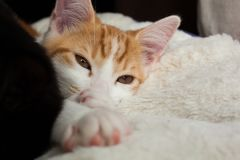 Cute Little Ginger. Closeup photo of a sleepy ginger cat Stock Photos