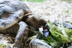Pet tortoise eating lettuce closeup. Closeup photo of small pet tortoise eating lettuce on straw bedding royalty free stock photography
