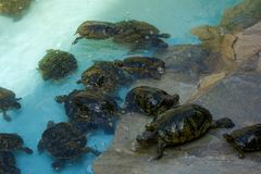 Closeup photo of small turtles royalty free stock image