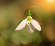Closeup photo of snowdrop flower Stock Photos
