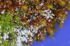 Closeup photo of snowflakes on moss Stock Photo