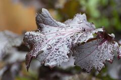 Purple Perillas leaves with water drops