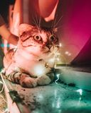 Closeup Photo Of String Light On Tabby Cat Stock Image