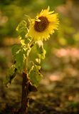 Closeup photo of a sunflower Stock Images