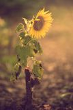 Closeup photo of a sunflower Stock Photography