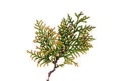 Thuja twig isolated Stock Image