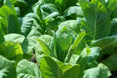 Closeup photo about tobacco plants Royalty Free Stock Images