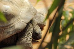 Closeup photo of turtle in leaves royalty free stock image