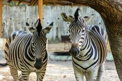 Closeup photo of two zebra stock images
