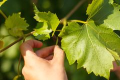 Vine grower`s hand cutting grape in the vineyard by sunny weather. Closeup photo of vine grower`s hand cutting grape in the vineyard by sunny weather Royalty Free Stock Image