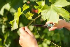 Vine grower`s hand cutting grape in the vineyard by sunny weather. Closeup photo of vine grower`s hand cutting grape in the vineyard by sunny weather Stock Images