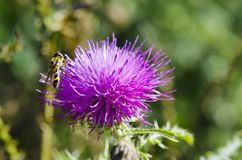 Closeup of a photo of a wasp sitting on a thistle flower on a su. Nny day on a meadow with a blurred grass background Stock Photo