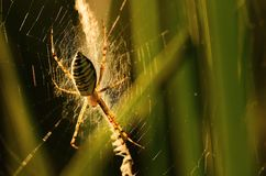 Closeup photo of a wasp spider Stock Image