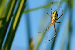 Closeup photo of a wasp spider Royalty Free Stock Image