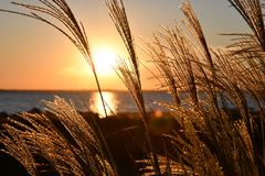 Closeup Photo Of Wheat During Golden Hour Royalty Free Stock Image