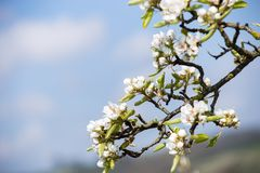 Apple Blossom. Closeup photo of white apple blossom in April Royalty Free Stock Image