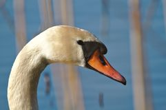 Mute swan portrait royalty free stock photo