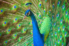 Closeup photo of wild Peacock with feathers out Royalty Free Stock Images