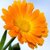 Closeup photo of yellow daisy-gerbera Stock Image