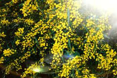 Yellow flower on a tree royalty free stock photo