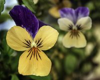Pretty yellow and purple violas. A closeup photo of yellow and purple violas outside in nature Royalty Free Stock Photo