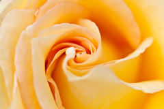 Closeup photo of a yellow rose Royalty Free Stock Photo