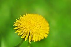 Closeup photo of a yelow dandelion Royalty Free Stock Photos