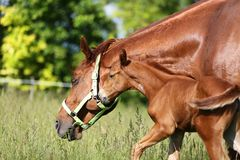 Mother horse and her foal graze on green grass meadow summer tim royalty free stock images