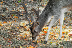 Closeup photo of a young male fallow deer Stock Image