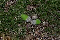 Closeup photograph of acorns on moss on the ground in a forest. royalty free stock photography