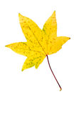 Closeup Photograph of autumnal withering maple tree or acer tree Stock Images