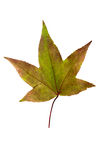 Closeup Photograph of autumnal withering maple tree or acer tree. Leaf isolated on white background in high resolution stock photo