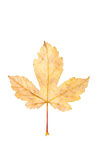 Closeup Photograph of autumnal withering maple tree or acer tree Royalty Free Stock Image