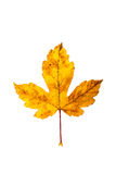 Closeup Photograph of autumnal withering maple tree or acer tree Royalty Free Stock Images