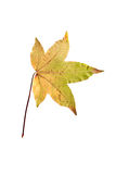 Closeup Photograph of autumnal withering maple tree or acer tree. Leaf isolated on white background in high resolution royalty free stock photo